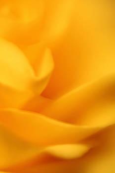 Dreamy Yellow Rose Macro Petals by Matt Matthews