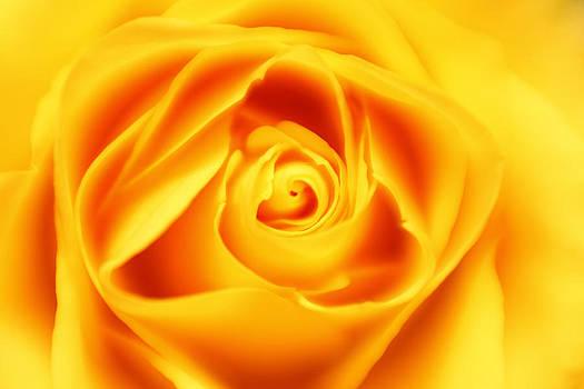 Dreamy Yellow Rose by Matt Matthews