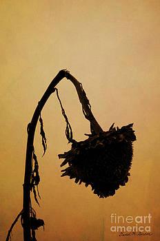 David Gordon - Dried Sunflower