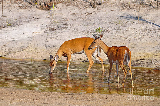 Drinking Does by Al Powell Photography USA