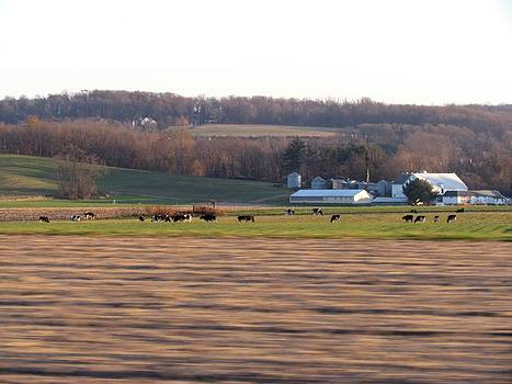 Drive By Cows by Dianne Furphy