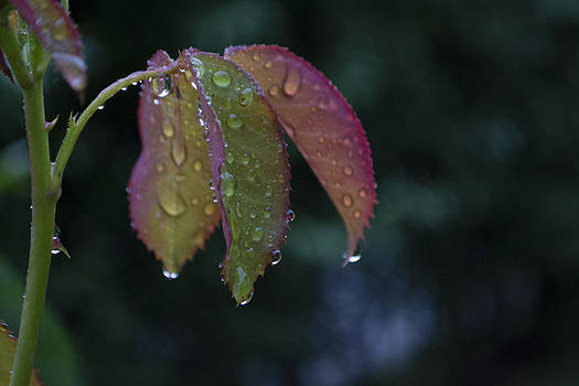 Drops by Peter Fodor