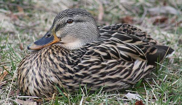 Duck at Wilkin's Lake Winchester VA by Wendy  Beatty