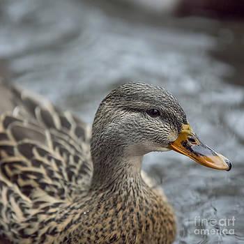 Duck by Billie-Jo Miller