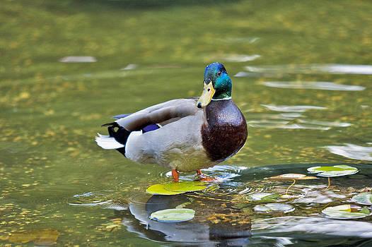 Duck by Boris Blyumberg