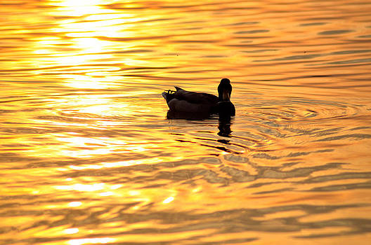 Duck in the sunset by Elek Gyorgy