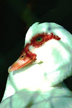 Duck by Jennifer Burley