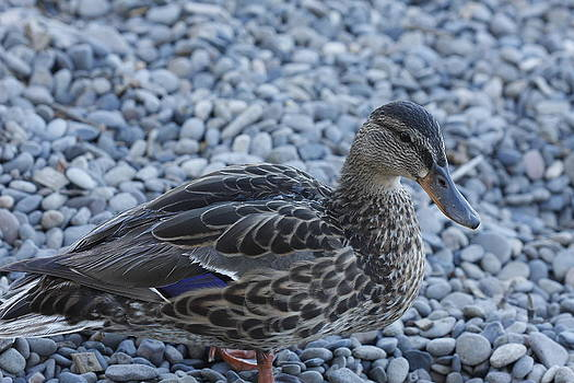 Duck by Kimberly Oegerle