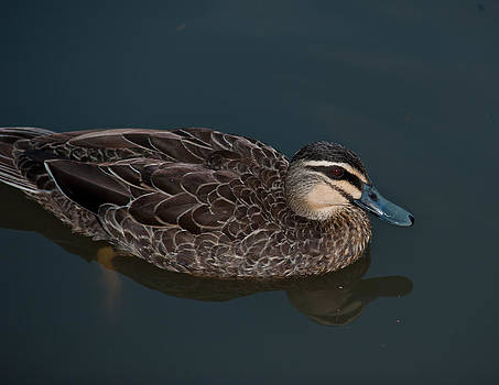 Duck on Pond by Patrick OConnell