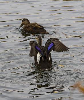 Duck pict 1 by Michel DesRoches