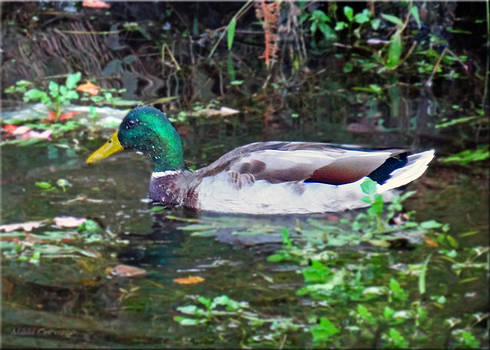 Duck Profile by Mikki Cucuzzo