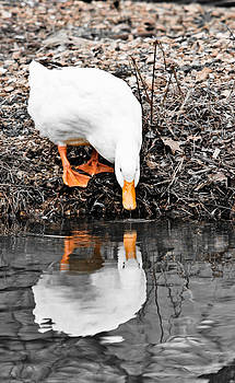 Duck Reflects by Nichole Carpenter