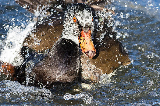 Duck Splash by James Evans