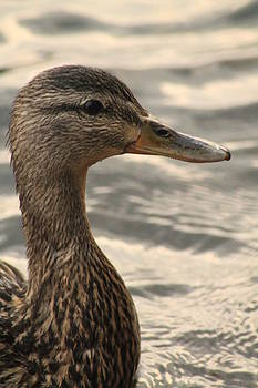 Duck up Close by Alicia Knust