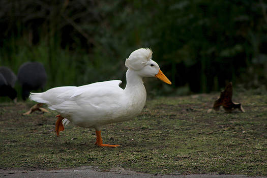 Diana Haronis - Duck With Stylish Hair
