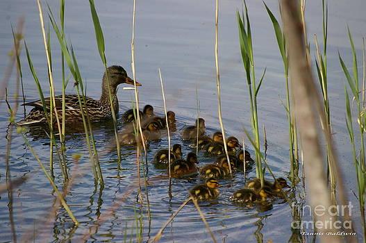 Tannis  Baldwin - Ducklings and Mom