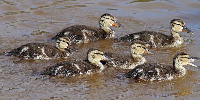 Ducklings by Jim Nelson