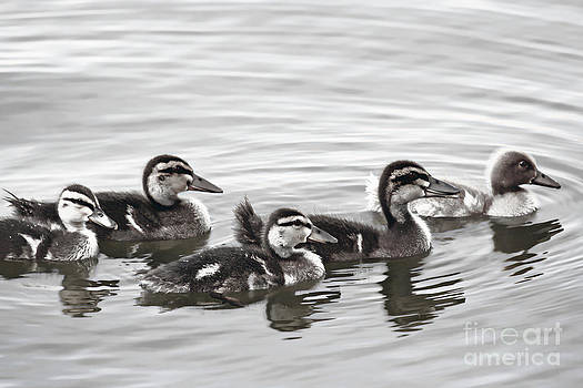 Ducklings by Kristy Ollis
