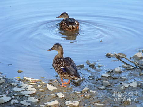 Ducks on The Humber by Leslie Jennings