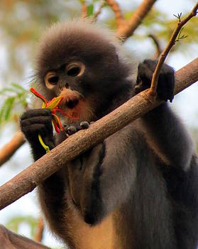 Ramona Johnston - Dusky Langur