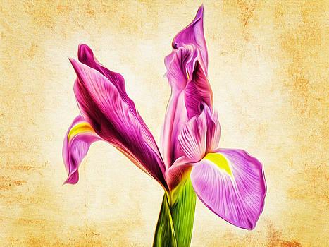 Dutch Iris by Celso Bressan