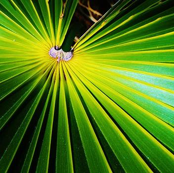Dwarf Palmetto by Christine  Fifer