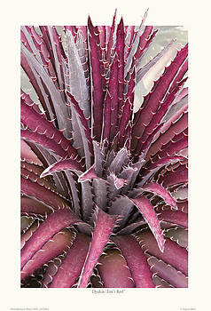 Dyckia 'Jim's Red' by Saxon Holt