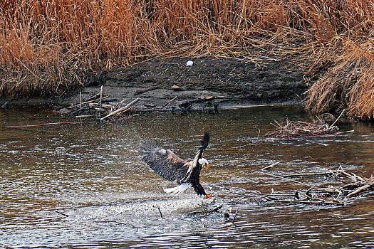 Eagle after bath by Duane King