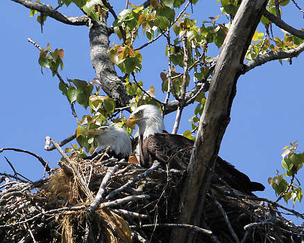 Eagle couple by Bruce  Morrell