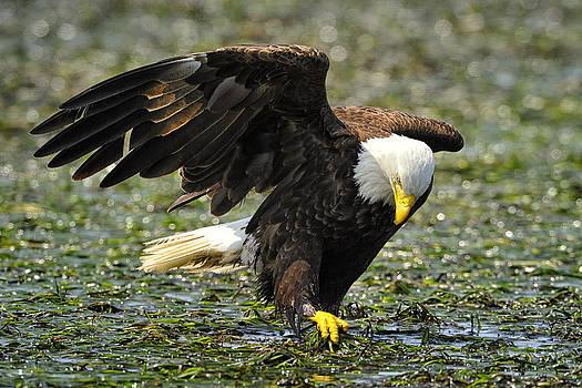 Eagle Gardener by Sasse Photo