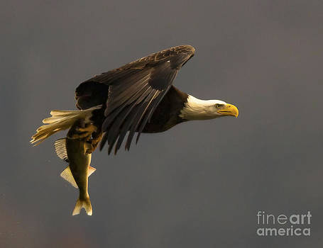 Eagle with Fish by Ursula Lawrence