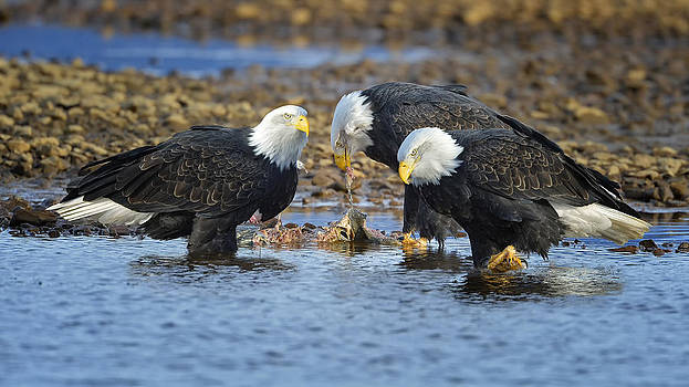 Eagles feeding in River by Sasse Photo