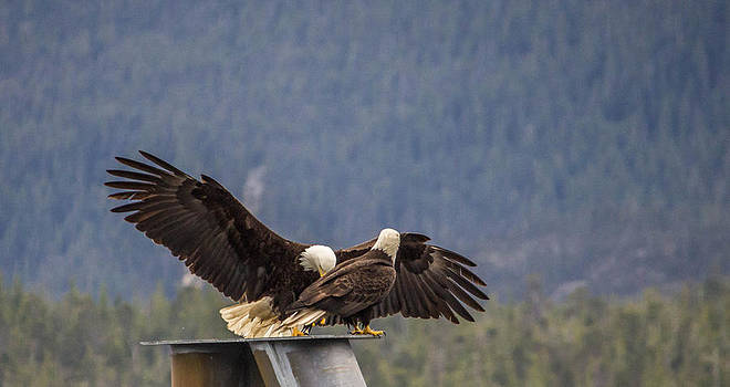 Eagles by Timothy Latta
