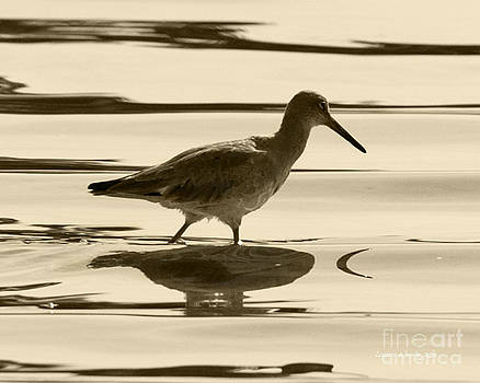 Artist and Photographer Laura Wrede - Early Morning in the Moss Landing Harbor Picture of a Willet