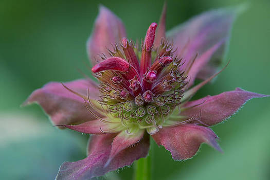 Early Spring Bee Balm Bud by Denyse Duhaime
