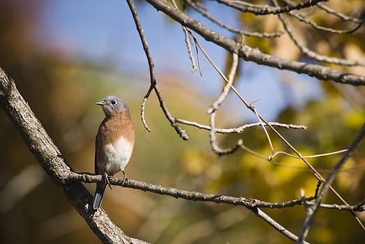 Eastern Blue Bird by Chad Davis
