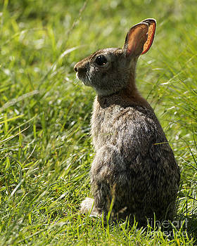 Eastern Cottontail by Deborah  Smith