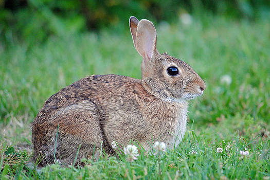Eastern Cottontail Rabbit by Carla Mason