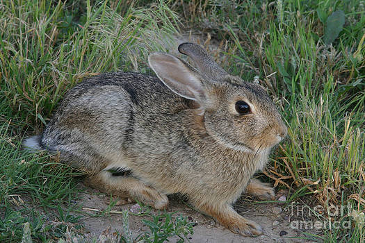 Larry Miller - Eastern Cottontail