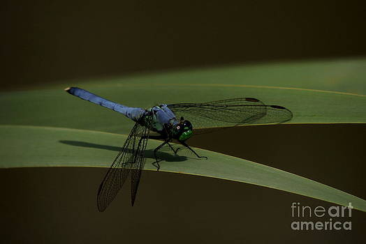 Eastern Pondhawk Dragonfly On Cattail by Kim Doran