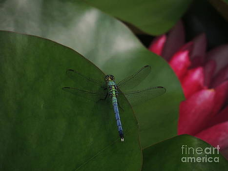 Eastern Pondhawk Dragonfly On Lily Pad by Kim Doran