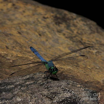 Eastern Pondhawk Dragonfly On Rock by Kim Doran