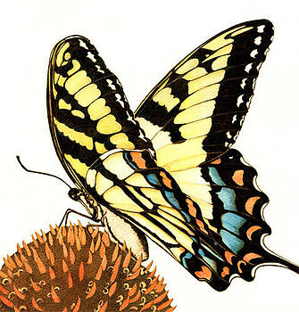 Eastern Tiger Swallowtail by Cate McCauley
