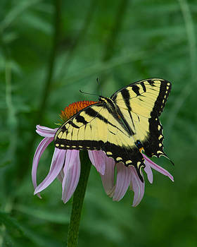 Eastern Tiger Swallowtail by David Hintz