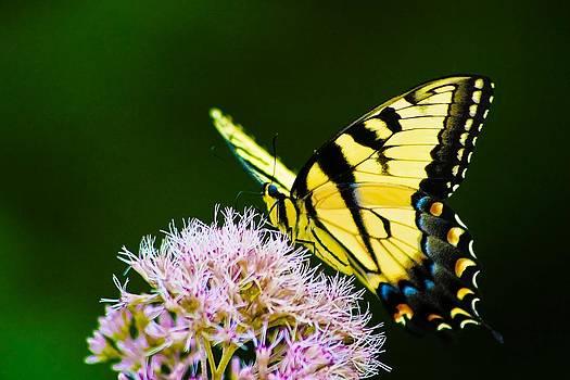 Regina  Williams  - Eastern Tiger Swallowtail