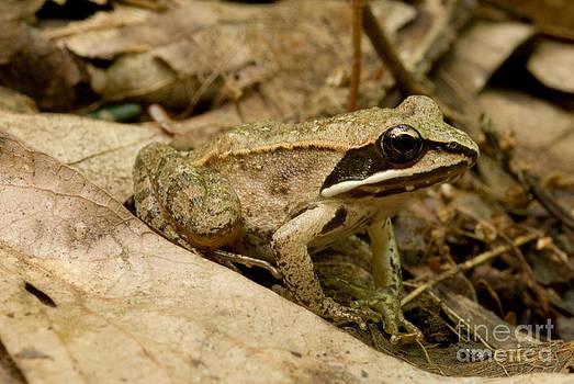 Paul Whitten - Eastern Wood Frog