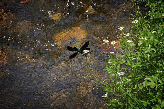 Ebony Jewelwing Dragonfly in Flight by Teresa Wissen