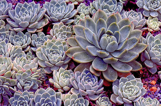 Echeverias by Kimberly Long