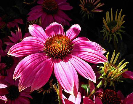 Echinacea Blooms by Suzy Piatt
