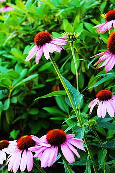 Echinacea  by Shaileen Landsberg